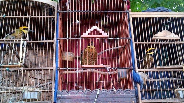In Indonesien leben immer mehr Vögel in Gefangenschaft.
