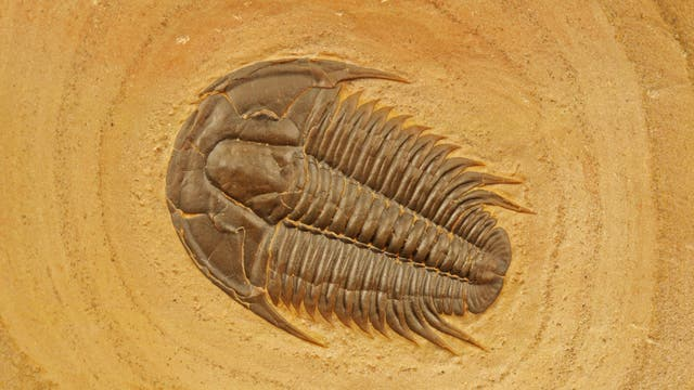 Trilobit aus dem Kambrium