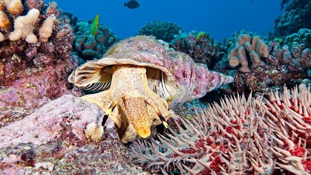 Tritonschnecke attackiert einen Dornenkronenseestern