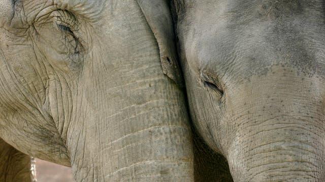 Elefanten kümmern sich umeinander