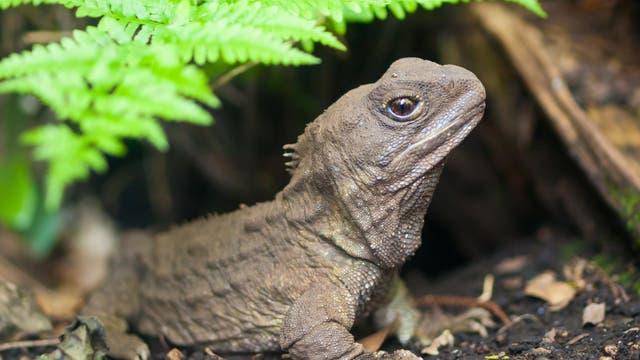 Tuatara-Echsen haben nur in Neuseeland überlebt