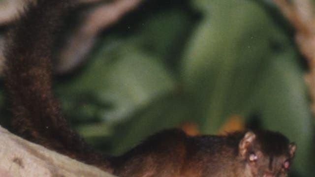 Nikobaren-Spitzhörnchen