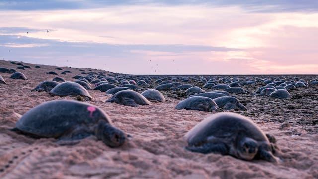 Schildkröten am Strand von Raine Island