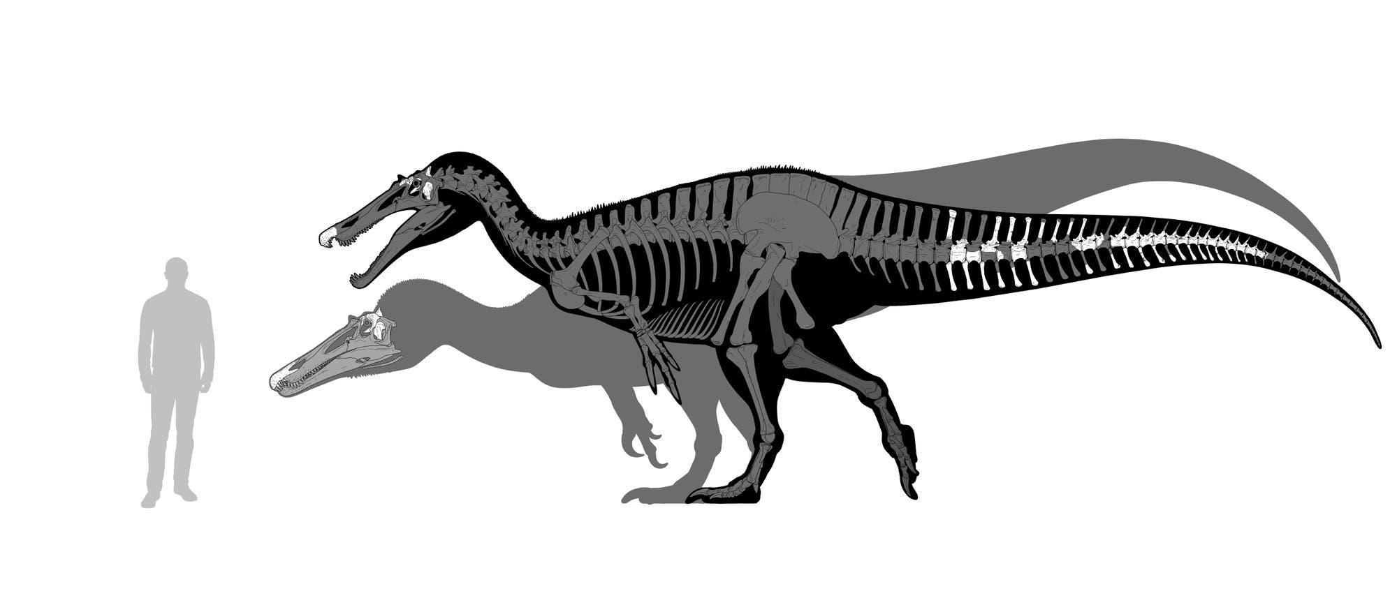 Die beiden Spinosaurier