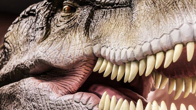 Ein Blick ins Maul des Tyrannosaurus rex