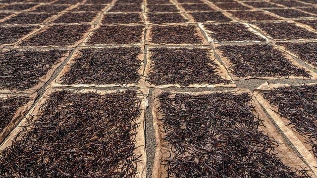 Trocknende Vanilleschoten sind auf dem Boden ausgebreitet