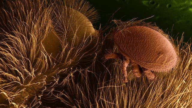 Varroamilbe auf einer Honigbiene