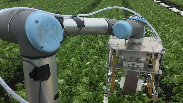 Roboter, der Eisbergsalat erntet