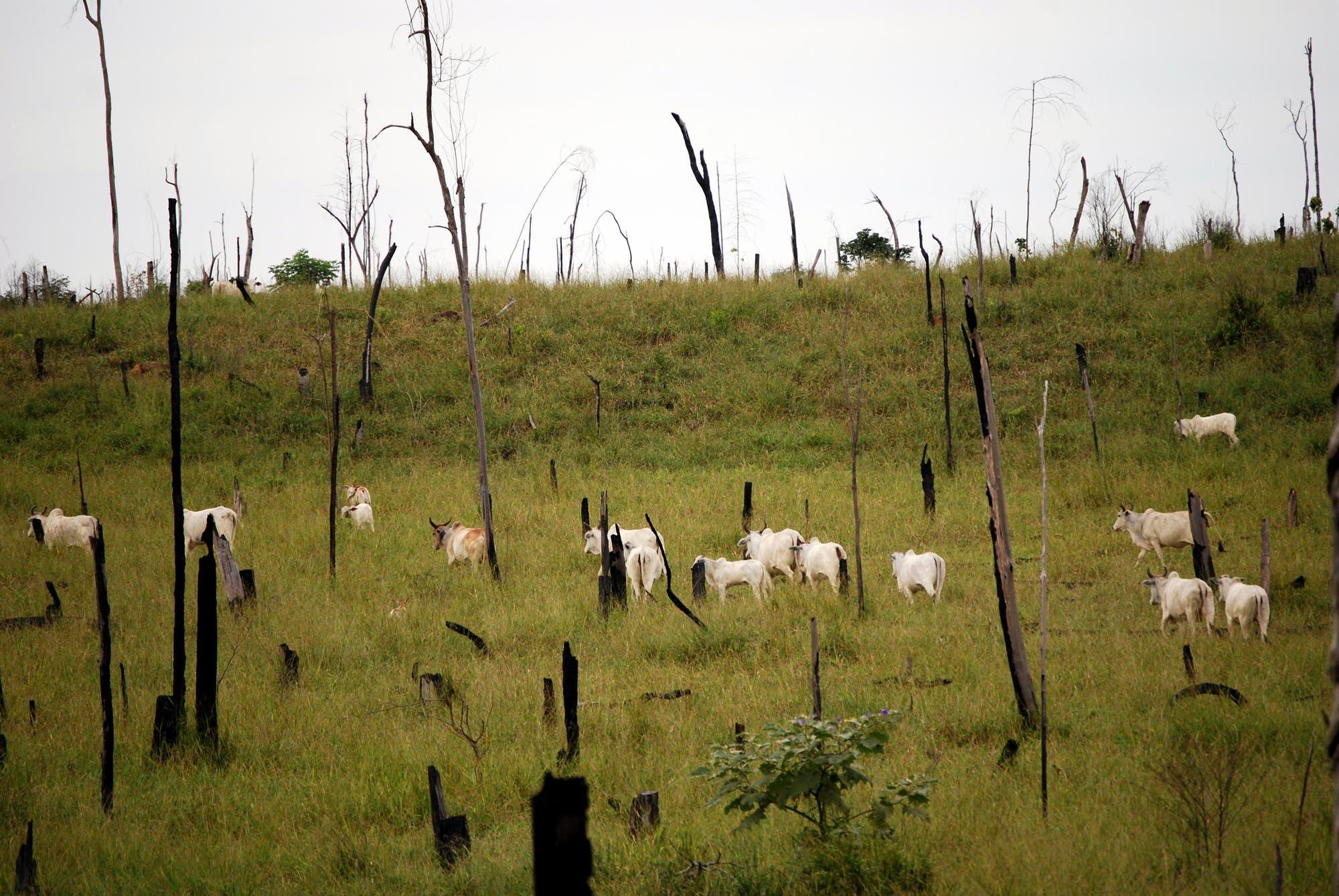 Vieh weidet zwischen verkohlten Baumstümpfen – den kläglichen Resten des einstigen Regenwaldes