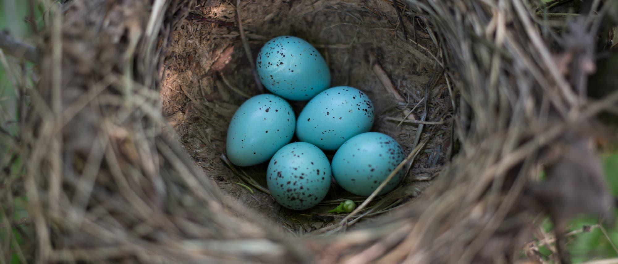 Vogeleier im Nest