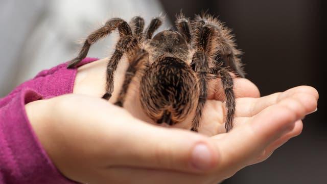 Mädchen hält Vogelspinne auf der Hand