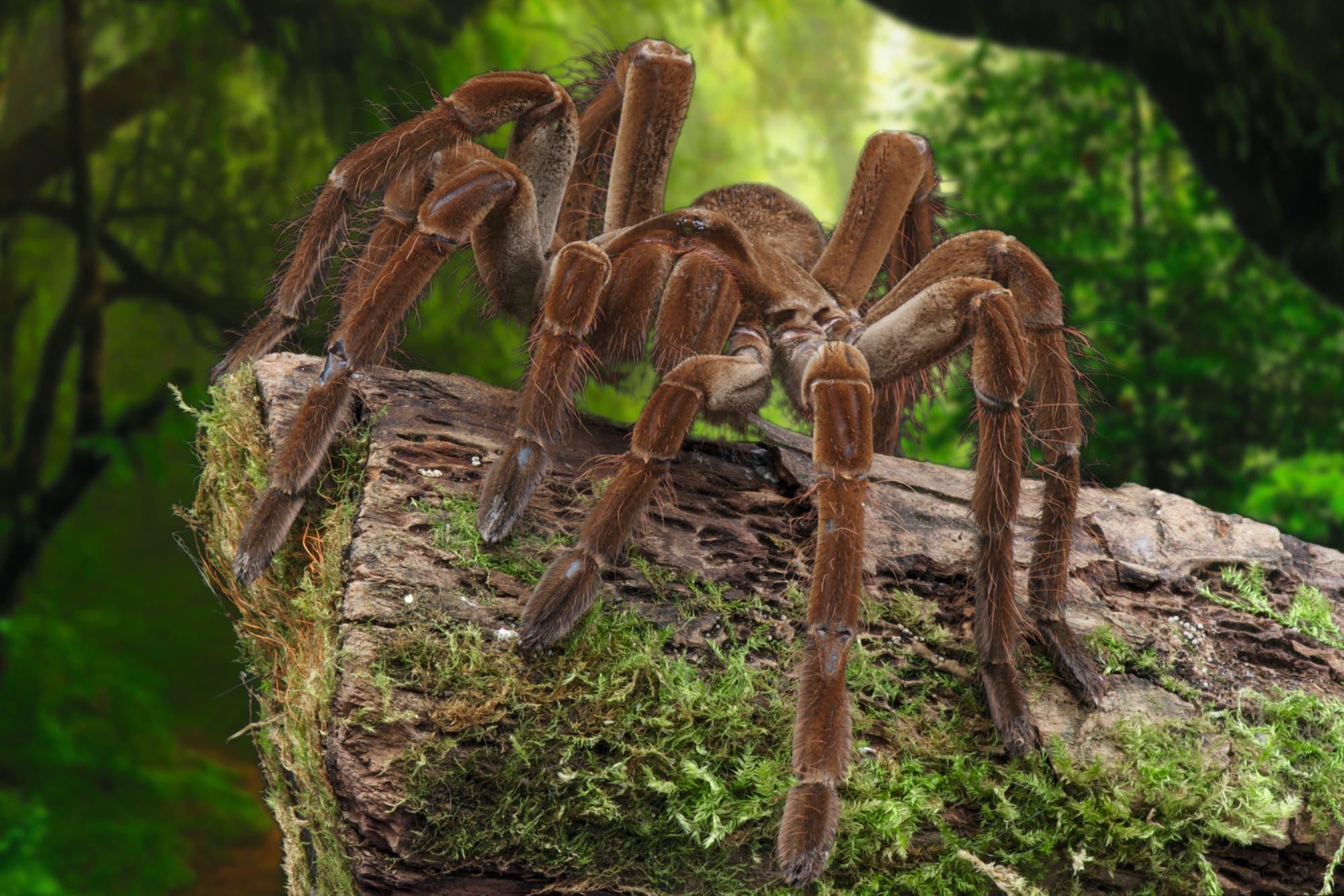 Goliathvogelspinnen sind die Riesen unter den Vogelspinnen
