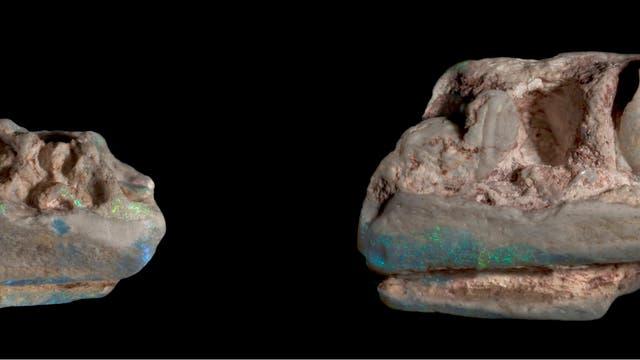 Opalisierte Kieferüberreste eines Dinos