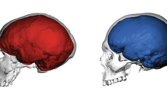 Gehirn Neandertaler
