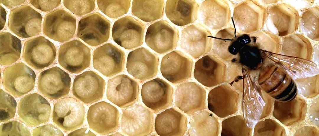 Eine Biene füttert Larven