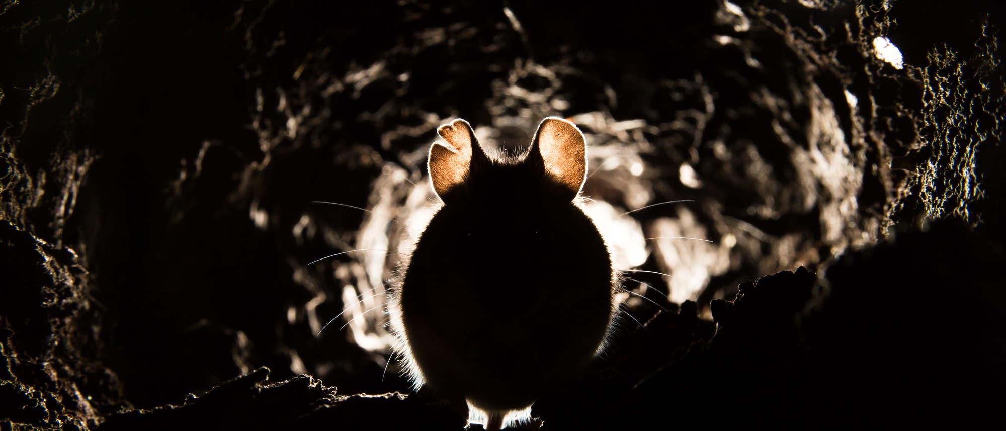 Eine Maus sieht im düsteren Licht zum Fürchten aus