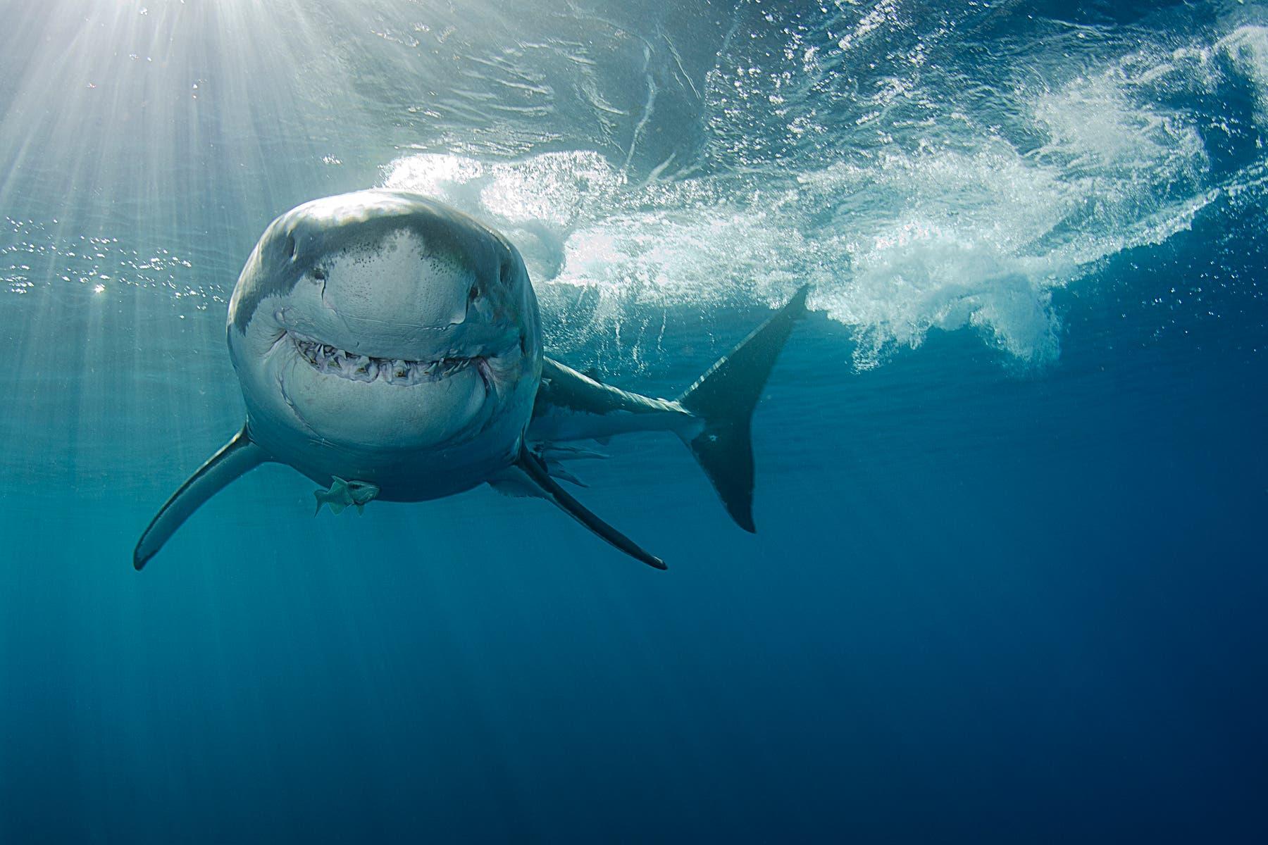 Weißer Hai – tausende Zähne im Lauf eines Lebens