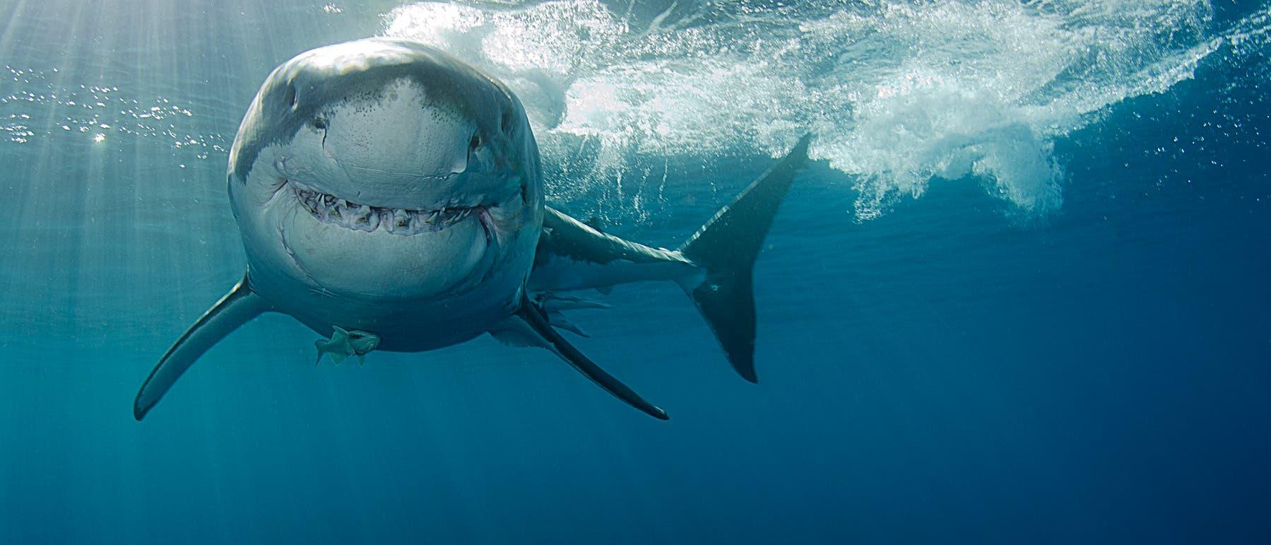 Weißer Hai - tausende Zähne im Lauf eines Lebens