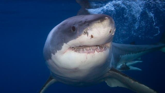 Dieser Weiße Hai ist noch wach und lächelt in die Kamera