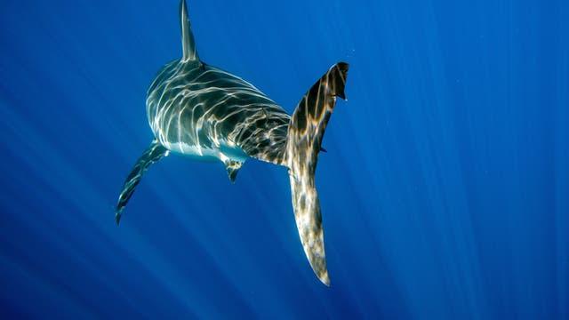 Weißer Hai verschwindet in der blauen Tiefe