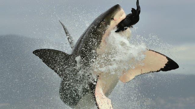 Weißer Hai schnellt während der Jagd aus dem Meer vor Südafrika