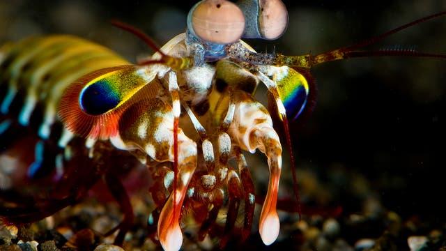 Der Clown-Fangschreckenkrebs