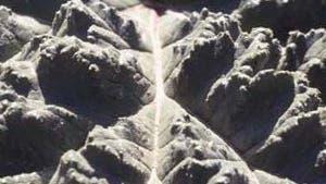 Rhabarberblätter