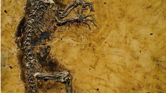 Primaten-Fossil