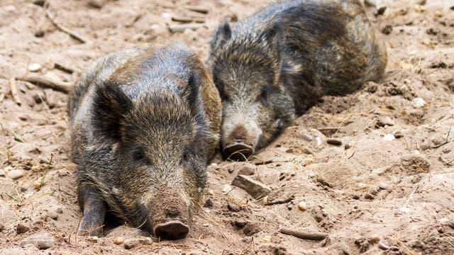 Zwei Wildschweine ruhen (Ausrichtung unbekannt)