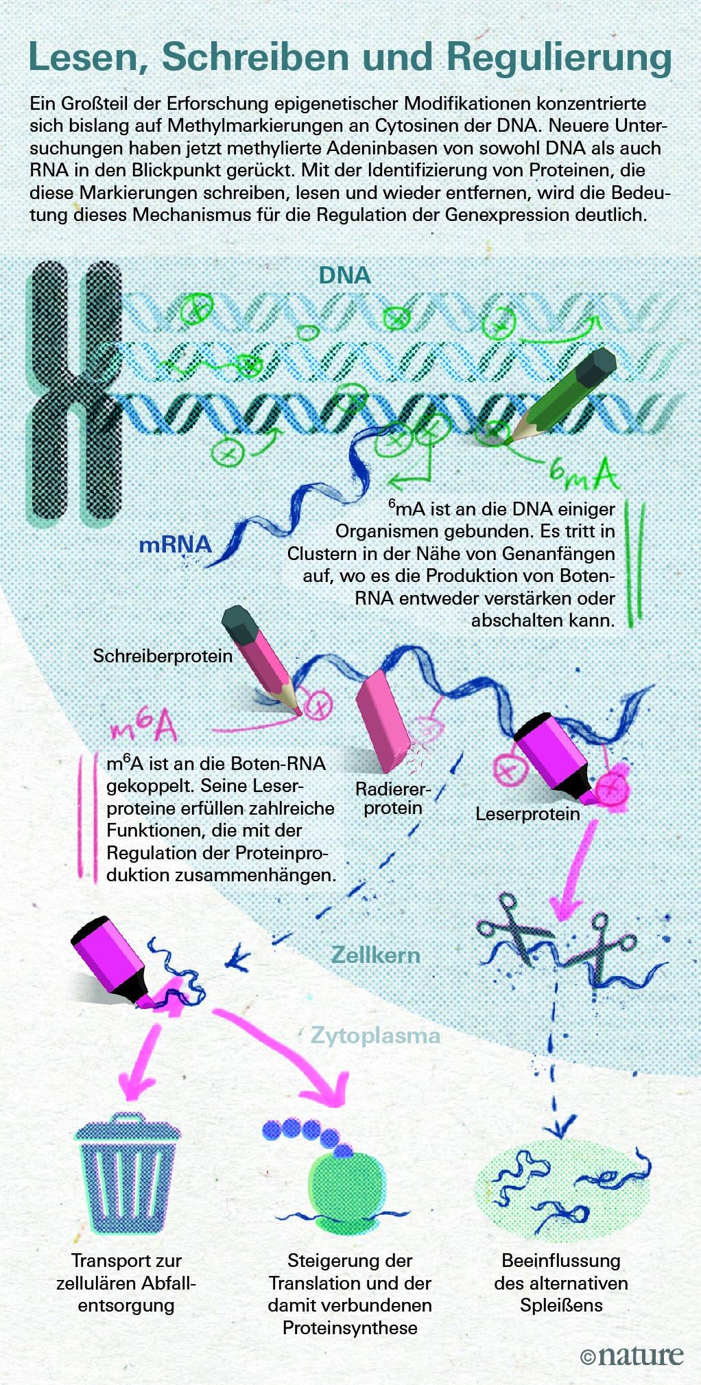 Neu entdeckte Mechanismen epigenetischer Modifikation