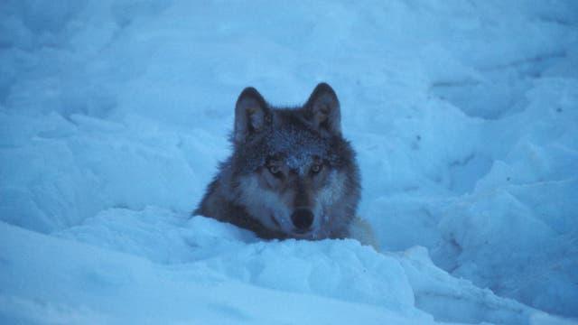 Wolf im Winterpelz