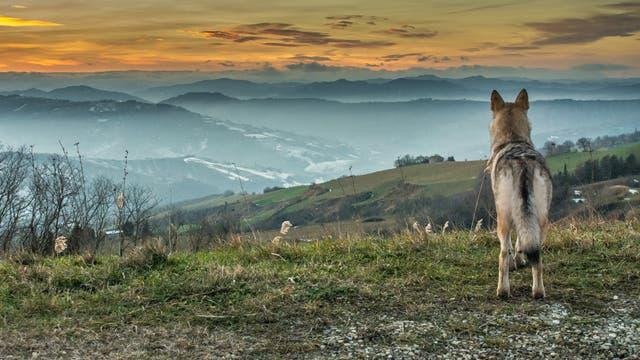 Ein Wolf blickt in die Landschaft