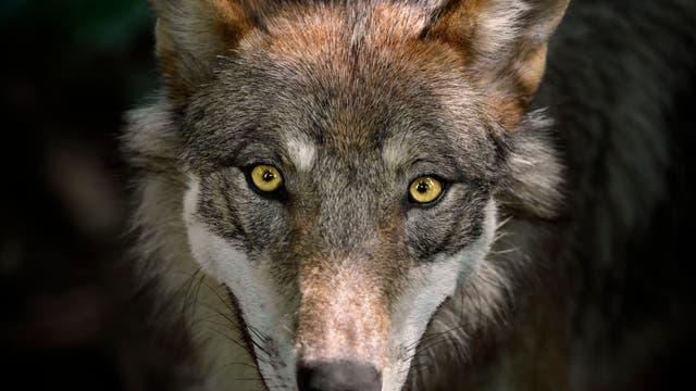 Wolf ganz nah