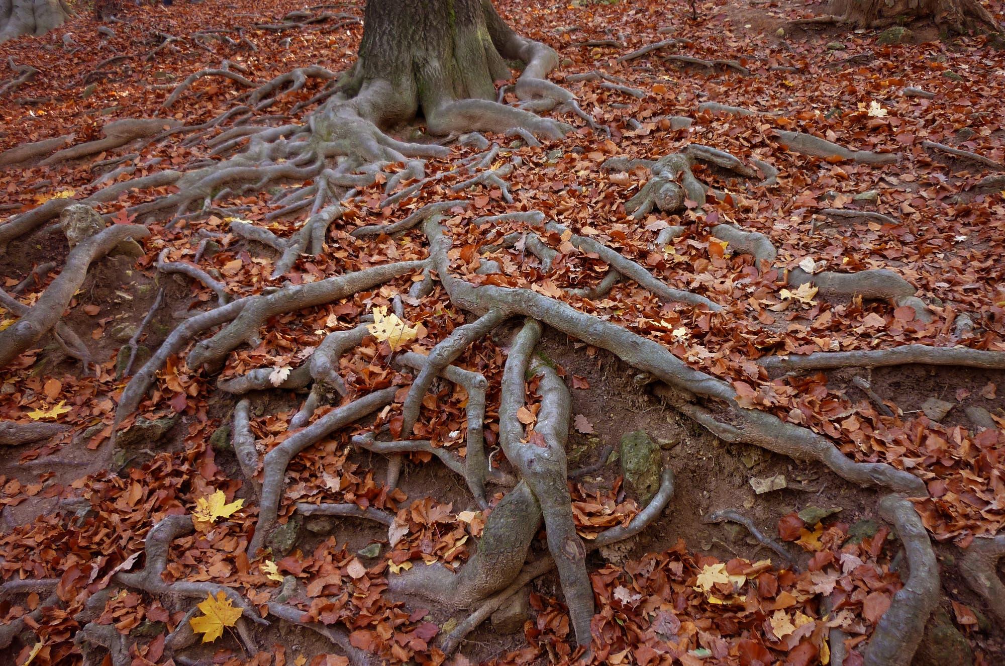 Wurzeln eines Baumes mit Herbstlaub