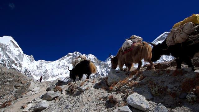 Ziehende Yaks im Himalaja