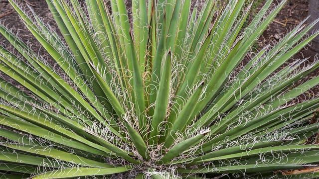 Yuccas haben spitze Blätter