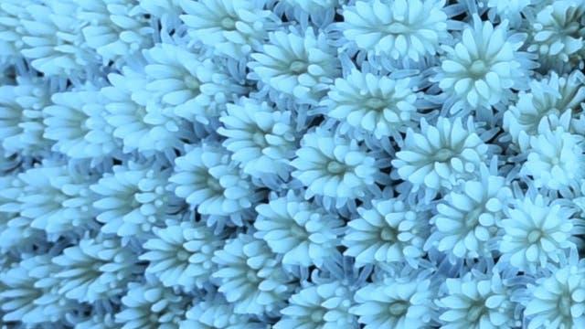 Die Großaufnahme einer gebleichten Koralle. Die Farben kommen von den Algen, und wenn die weg sind, scheint das bleiche Kalkskelett durch,