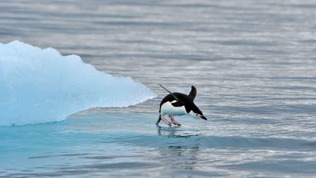 Ein Zügelpinguin springt in die kühlen Fluten des Südpolarmeers