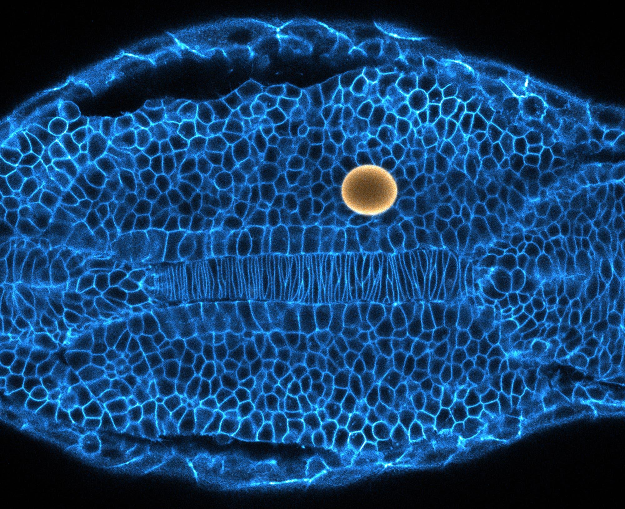 Zebrafisch Embryo