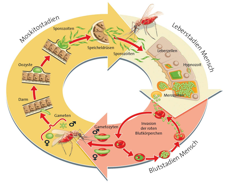 Plasmodium vivax Lebenszyklus