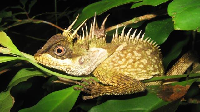 Acanthosaura phuketensis - eine Echse aus Südostasien