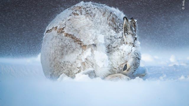 Während der Wind mit 50 bis 60 Meilen pro Stunde um ihn herumtobte, hielt Fotograf Andy Parkinson in den schottischen Highlands Ausschau nach Schneehasen. Mit Erfolg.