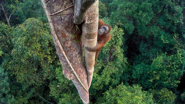 Kletternder Orang-Utan scheut keine Höhen im Regenwald