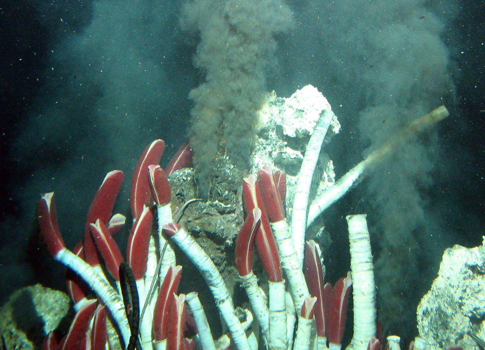 Röhrenwürmer in der Tiefsee