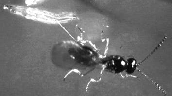 Schlupfwespe legt Eier in Fliegenlarve