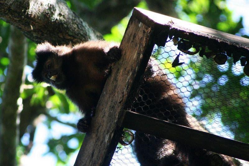 Ranghohes Kapuzinerweibchen auf einer Plattform