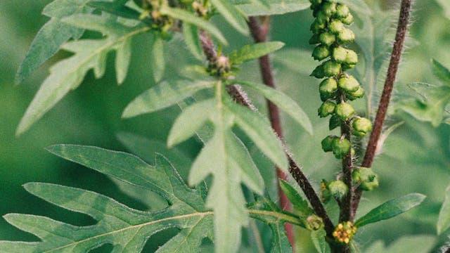 Beifuß-Ambrosie <i>Ambrosia artemisiifolia</i>