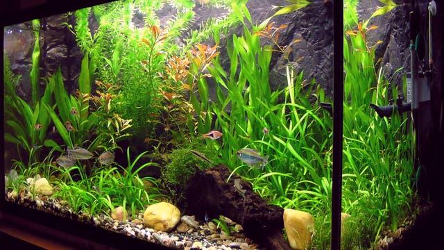 Wohnzimmer-Aquarium mit Pflanzen und Fischen