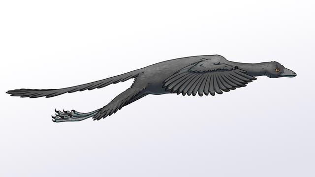 Rekonstruktion eines aktiv fliegenden Archaeopteryx
