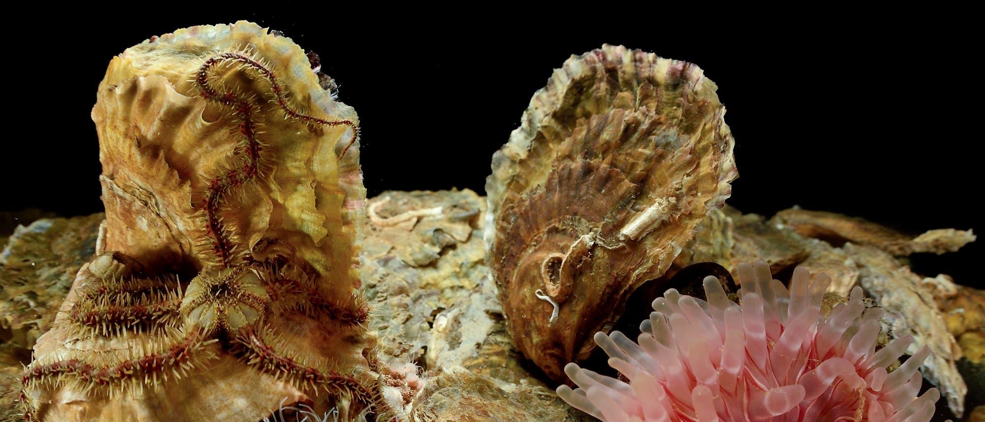 Austernriffe bieten auch anderen Lebewesen eine Heimat